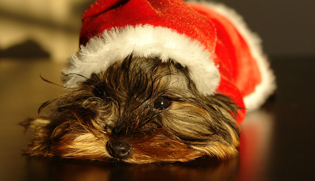 holiday pet dangers asheville nc