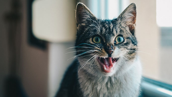 feline dental health, expert veterinary care asheville nc