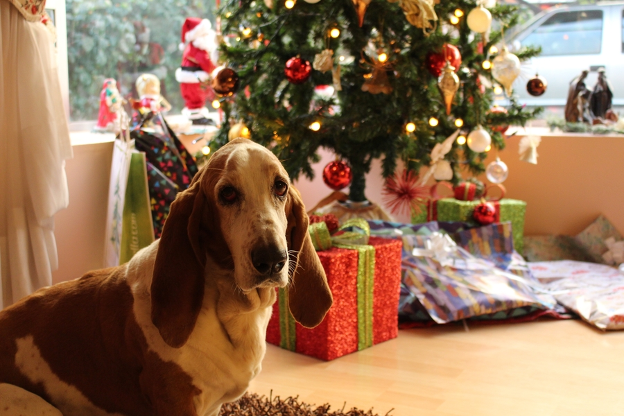 tan and white basset hound near the christmas tree 754491