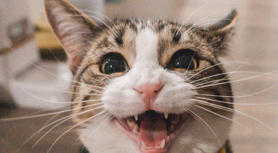 What You Need to Know About Cat Teeth Cleaning
