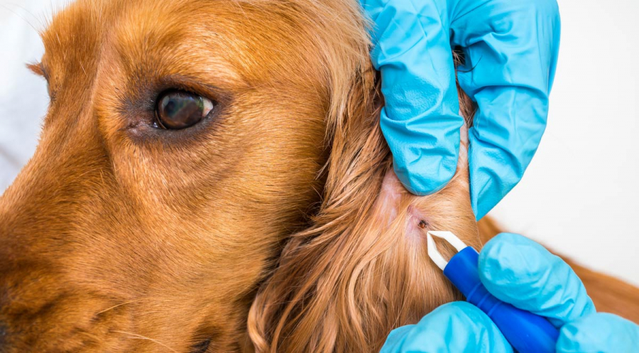 How Dangerous Is Lyme Disease for Your Dog?